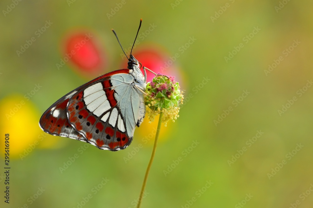 Fototapeta Limenitis reducta  638