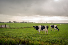 Two Cows On A Rainy Day
