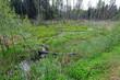 renaturiertes Moorgebiet in Białowieża, Nordostpolen - rewetted bog area in Białowieża, north-eastern Poland