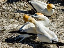 Gannet Hens And Chicks. Murawai Beach, Auckland, New Zealand