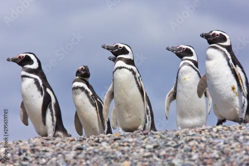 Spoed Fotobehang Pinguin Pingüino de Magallanes (Spheniscus magellanicus), Isla Pingüino, Puerto Deseado, Patagonia, Argentina. Magellanic Penguin