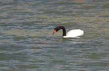 Cisne De Cuello Negro (Cygnus Melancoryphus, Patagonia, Argentina. Black-necked Swan