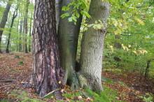Drei Verschiedene Bäume Dicht...