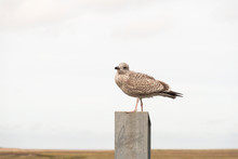 Young Sea Gull Perched On Top Of A Metal Post