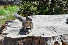 Squirrel In Yosemite National Park