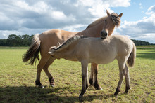 Foal Norwegian Fjord Horse Drinking With Its Mother In Meadow