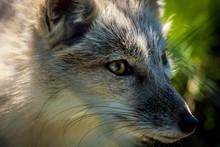 Corsac Fox Extreme Close Up