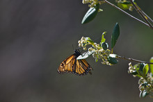 A Monarch Butterfly In The Sou...