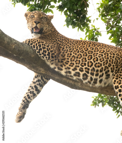 Tuinposter Luipaard leopard on a tree