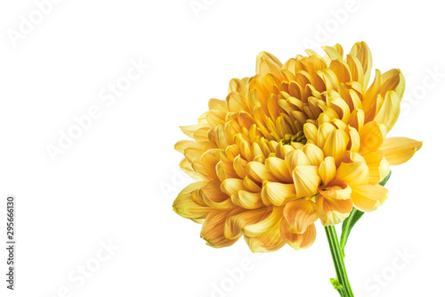 Canvas Print Yellow chrysanthemum on white background with copy space