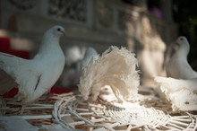 White Fantail Pigeons On A Red...