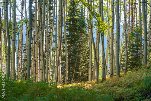 Aspen trees in a forest along Kebler Pass in Colorado