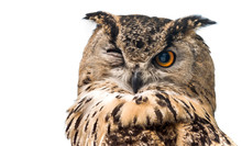 The Horned Owl With One Open E...