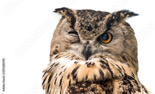 Obraz The horned owl with one open eye. Isolated on a white background. - fototapety do salonu