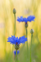 Blue Cornflower (Centaurea Cyanus) Flowers On A Background Of Beautiful Evening Light. Wildflower Cornflower (Centaurea Cyanus), Macro, Selective Focus