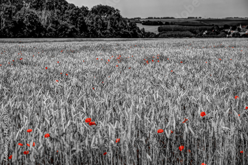 Staande foto Rood, zwart, wit Black and white background with red poppies in the foreground