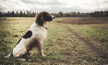 спрингер спаниель сидит в поле, грязный и мокрый. осень