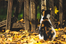 The Calico Cat From The Back O...