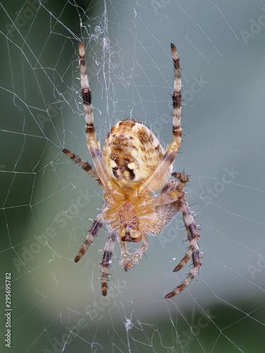 Gartenkreuzspinne, Araneus diadematus, in ihrem Netz, Hochformat Canvas Print