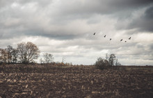A Large Flock Of Geese Flies Low Over The Field. Autumn. Overcast. Brown Tones