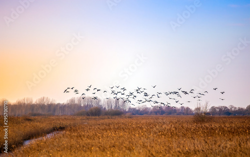 Fotografija  Flock of birds flying in rich sky over East Anglian fens taken December 2014