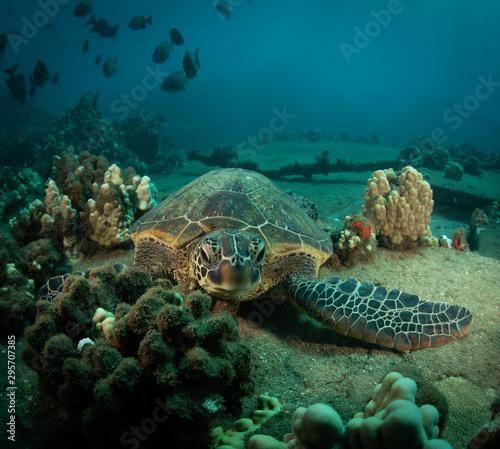 Hawaiian Green Sea turtle on a coral reef in Maui #295707385