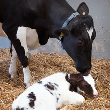 Mother Cow And Newborn Black And White Calf In Straw Inside Barn Of Dutch Farm