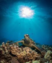 Hawaiian Green Sea Turtle On A Coral Reef In Maui
