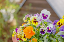 Beautiful Flower Field Of Blooming Purple Yellow Wild Pansy ,heartsease ,Johnny Jump Up,garden Violet ,Field Pansy , Japan Is Small Flowering Plant Use As Meadow Flowerbed In Garden