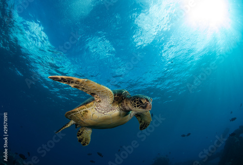 Poster Tortue Hawaiian Green Sea turtle on a coral reef in Maui