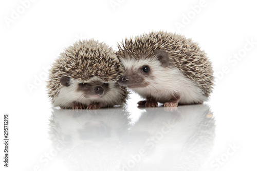 Obraz na plátně couple of two african hedgehogs standing side by side