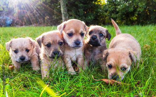 Fotografie, Obraz Five brown puppies in the grass