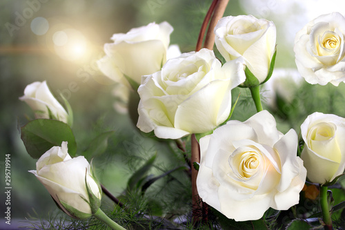 Spoed Fotobehang Tuin roses, background image ,roses in the garden,beautiful roses