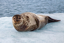 Ringed Seal In Jökulsárlón ...