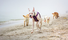 Four Dogs Playing On Beach, United States