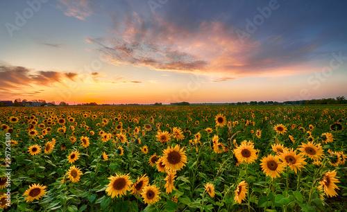 Poster Zonnebloem Beautiful sunset over sunflower field
