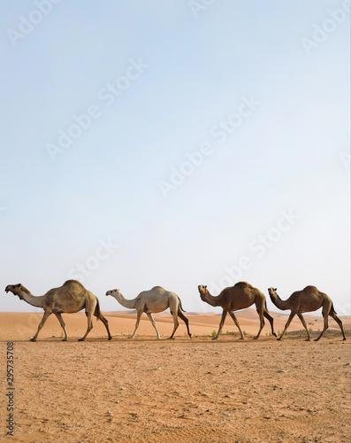A camel caravan in the Arabian desert. Riyadh, Saudi Arabia Wallpaper Mural