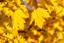 Backlit Maple Leaves In Autumn