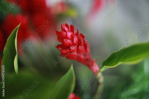 Photo Selective closeup shot of red alpinia purpurata or ginger flowers