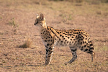 A Beautiful Rare Serval Cat St...