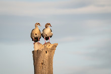 Pair Of Egyptian Geese Standing On A Log Against Clouds In The Sky Looking In The Same Directions.  Image Taken In The Maasai Mara, Kenya.