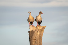 Pair Of Egyptian Geese Standin...