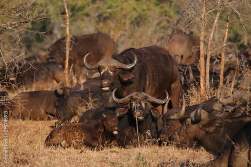 Photo Water Buffalo