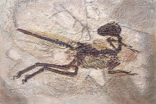 Dinosaur Fossils: Zhenyuanlong Suni, Liaoning, Yixian China. First Demonstration Of Feather Morphology In Short-armed Dromaeosaurid, The Largest Non-avian Dinosaur With Complex Wings. Selective Focus