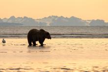 Brown Bear (Ursus Arctos) Digging For Clams On Tidal Flats At Sunrise;  Alaska