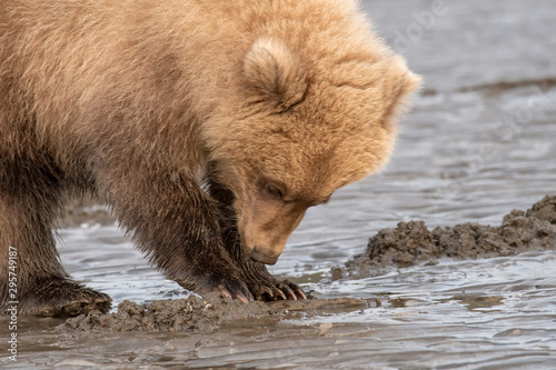 Brown bear family (Ursus arctos) digging for clams on the tidal flats;  Alaska