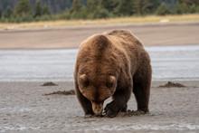 Brown Bear (Ursus Arctos) Digg...