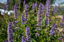 Bees Swarming Violet Penstemon Strictus Wildflowers In Colorado Mountaoms