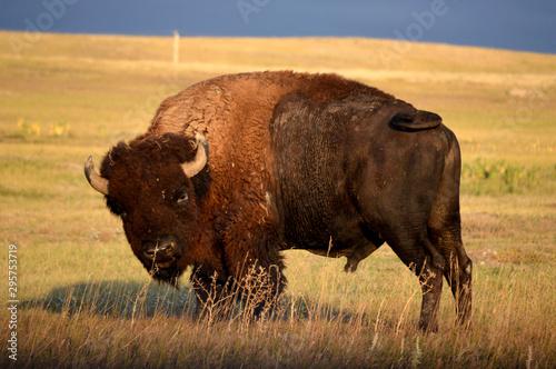 Fotografia  bison in yellowstone national park