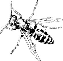 Large Striped Wasp With A Stin...